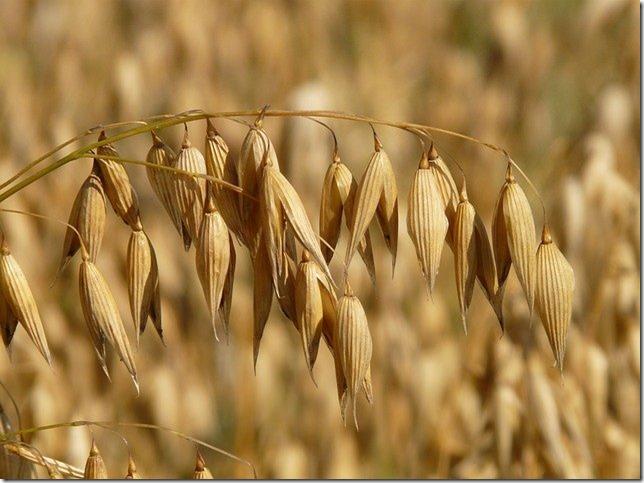 Manger des céréales ou pas ? L'avoine constitue une nourriture généreuse et saine pour les gens en bonne santé